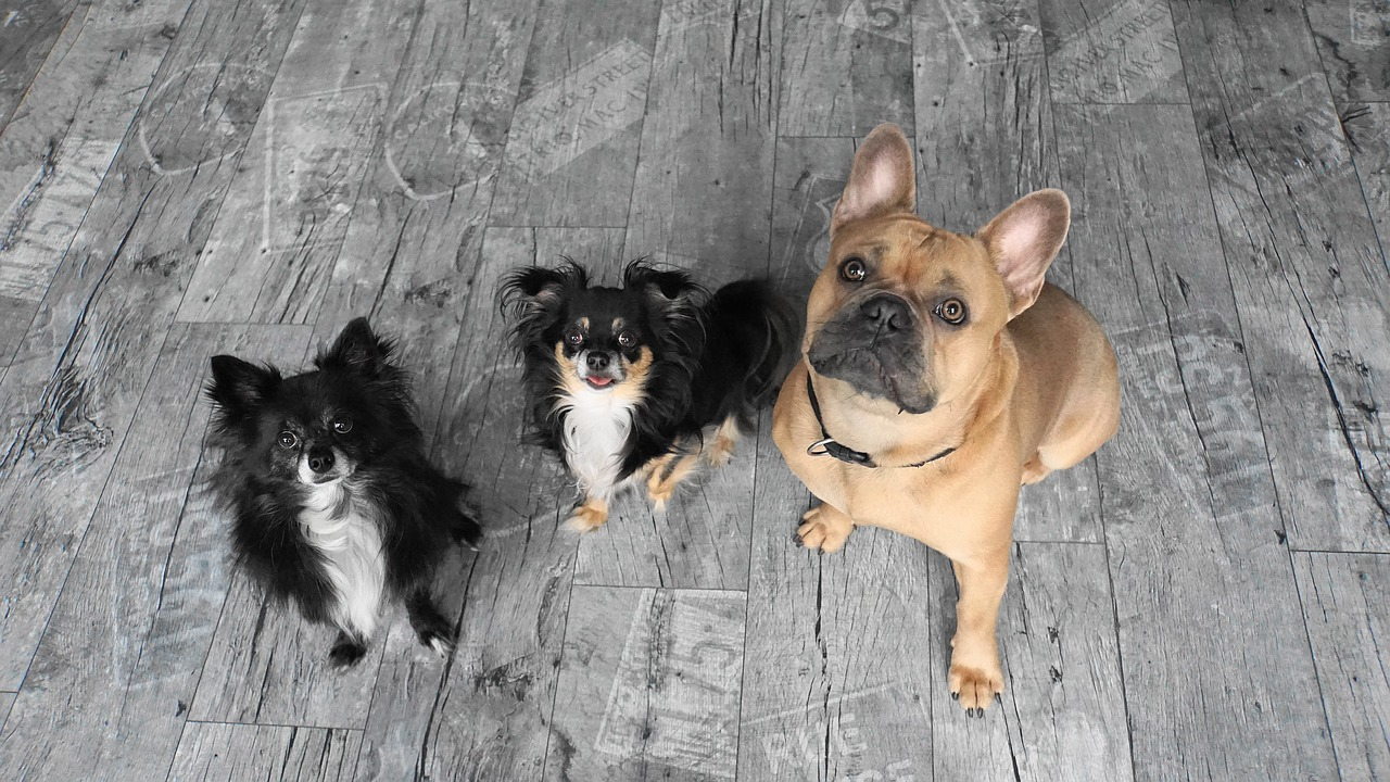 pack, dogs, chihuahua