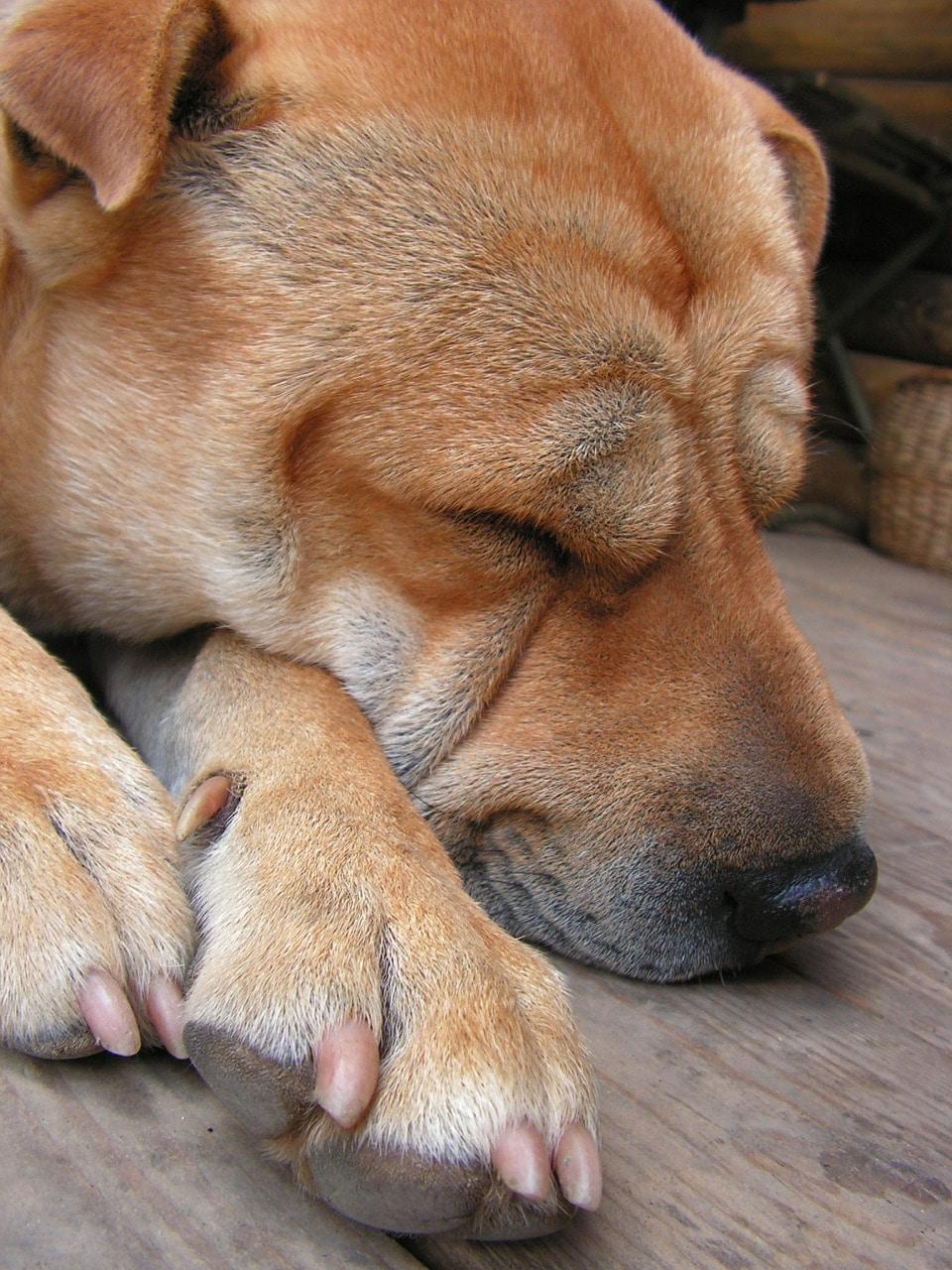 dog, dormant, sleep