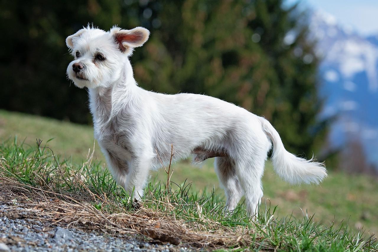 dog, white, male