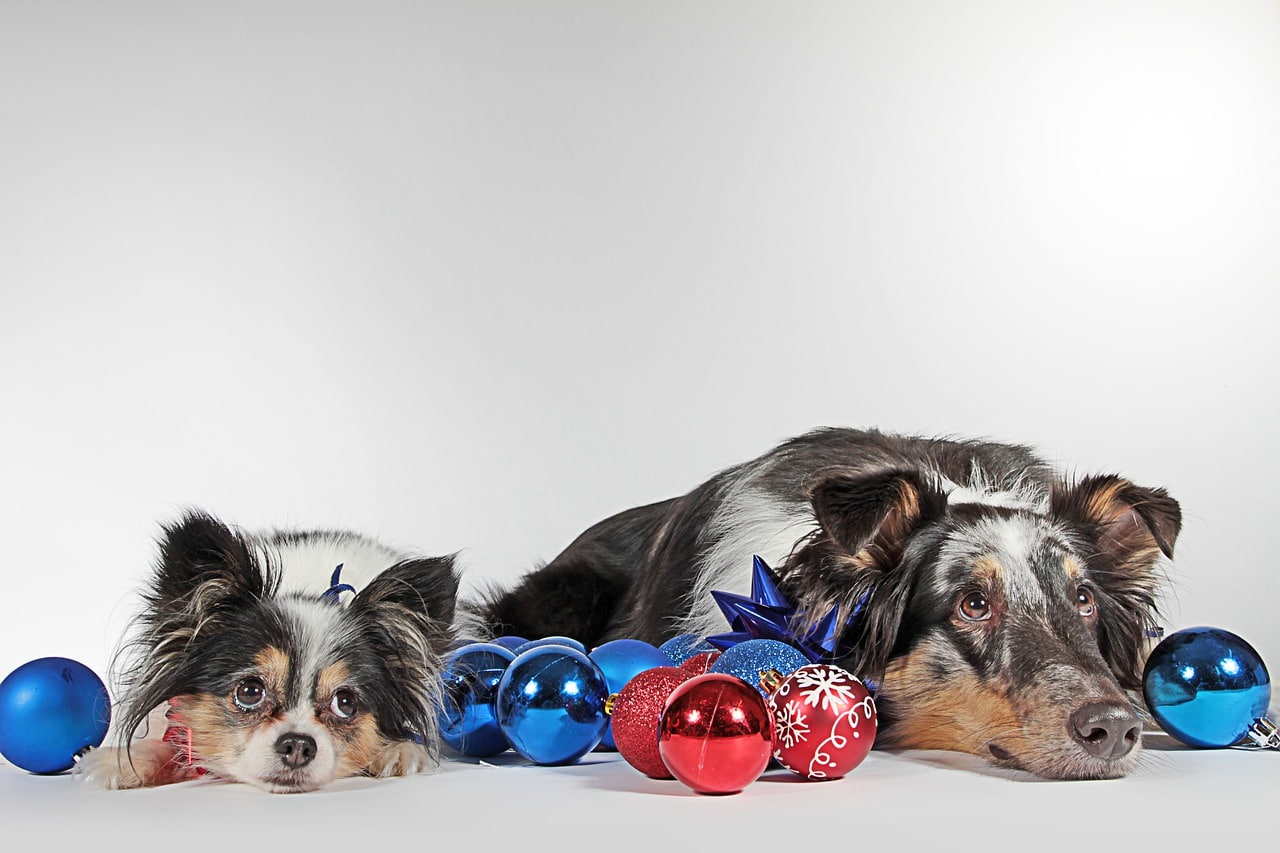 dogs, christmas, pack