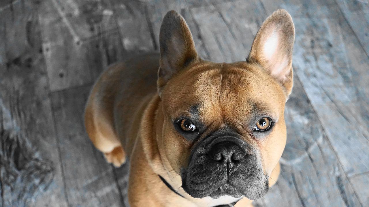 dog, french bulldog, animal