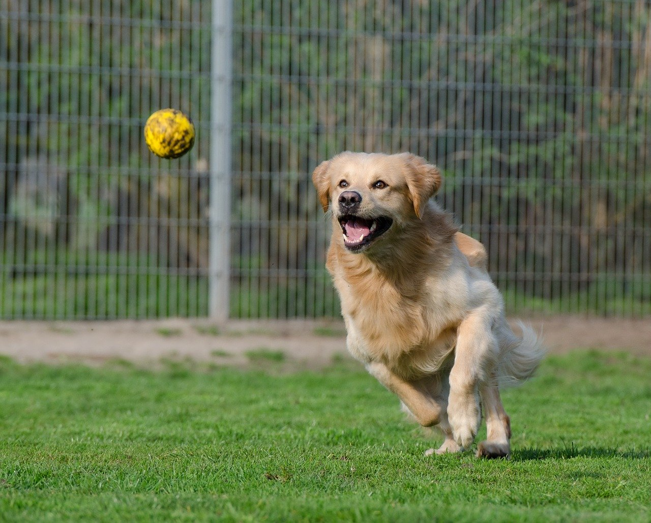golden retriever, animal shelter, dog pension