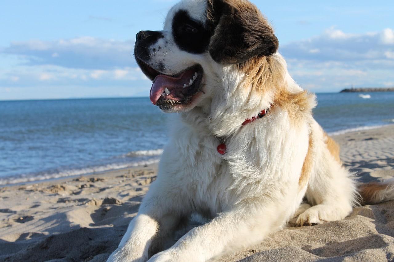 dog, saint-bernard, beach