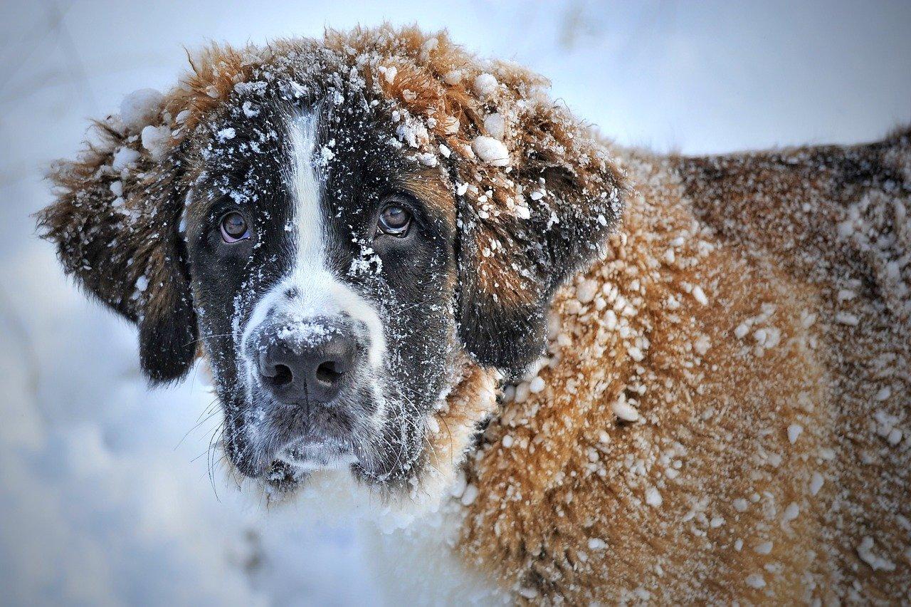 dog, snow, st bernard dog